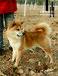 北京禾禾柴犬是CKU中爱联合注册犬舍