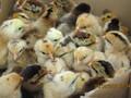 秀山土鸡苗,香鸡苗,绿壳蛋鸡苗,脱温鸡,那里有图片