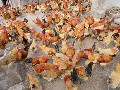 泸州土鸡苗常年销售,香鸡苗,绿壳蛋鸡苗,脱温鸡图片