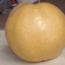 晚秋黃梨圖片