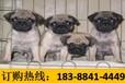 云南昭通威信养犬基地顶级沙皮犬