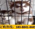 云南红河弥勒宠物基地出售高品质金毛犬