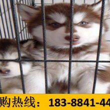 云南大理南澗彝族自治狗市場出售頂級巴哥犬圖片