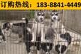 云南紅河個舊狗市場出售純正血統美國惡霸犬