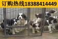 云南楚雄祿豐養犬基地賣阿拉斯加犬地址