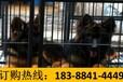 贵州黔西南兴仁狗场卖纯种拉布拉多犬