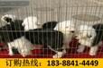 云南丽江古城区养犬基地纯种卡斯罗犬