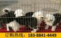 贵州黔南三都水族自治狗场卖纯种茶杯犬