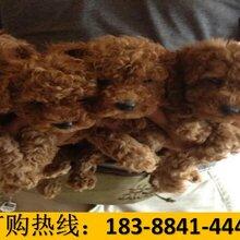 云南文山硯山狗市場出售賽級杜高犬圖片