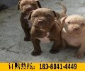 云南红河金平一只纯种卡斯罗犬