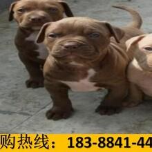 云南昭通彝良哪里有賣卡斯羅犬多少錢一只圖片