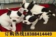 云南保山騰沖哪里有賣頂級大丹犬