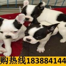 云南臨滄永德寵物基地出售秋田犬聯系方式圖片