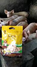 豬吃什么長得快,豬催肥,促生長,提前出欄圖片