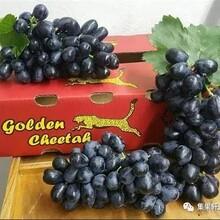 新鲜水果批发南非无籽黒提新鲜葡萄进口水果批发江南市场货源