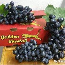 新鲜水果批发南非无籽黒提新鲜葡萄进口水果批发江南市场货源图片
