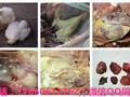 鸡气囊炎的治疗方案用优利特图片