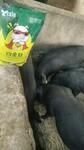 育肥猪怎么喂长得快猪吃什么长得快猪催肥最简单方法