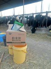 瘦牛快速育肥偏方养牛吃什么长得快图片