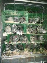 供应优质竹鼠,豪猪,藏香猪种苗
