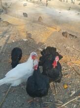 大庆大雁,大庆野鸡,大庆珍珠鸡,大庆火鸡,大庆孔雀图片