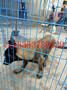 养殖肉狗怎样建犬舍肉狗笼舍建设图纸图片