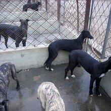 出售馬犬格力犬馬犬幼崽價格全活格力犬圖片