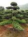 精品造型罗汉松盆景日本罗汉松树罗汉松树苗10/20公分罗汉松价格