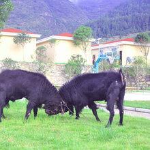 贵州纯种努比亚黑山羊,努比亚山羊种羊培育基地图片