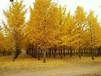 千亩精品苗圃花卉苗木对外供应