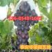 山東優質葡萄樹種植山葡萄、紅寶石葡萄樹基地