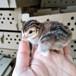 法国珍珠鸡珍珠鸡珍珠鸡苗多少钱一只珍珠鸡价格