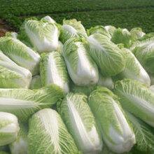 山東大白菜4-6斤袋裝凈菜產地直銷圖片