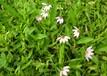 白花蛇舌草種子什么價格一畝要多少錢