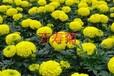 一般万寿菊种子多少钱一斤一平方要多少钱