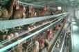 如何提高蛋鸡产蛋率,延长产蛋高峰