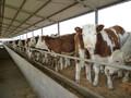 肉牛的饲养,肉牛怎么养长得快?需要注意什么?图片