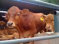 肉牛要怎么喂养?肉牛快速有效催肥的好方法有哪些?图片
