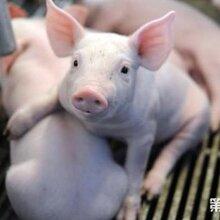 刚生下来小猪拉稀怎么解决