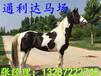 伊犁馬耐力如何,適合用作騎乘馬么