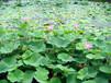 水生植物养殖的方法
