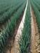 大蔥種子廠家大蔥種子產地