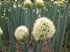 贵州适合大葱种植大葱种子葱白结实叶肉厚