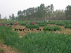 大葱种子厂家大葱种子产地大葱种子公司