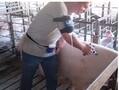 动物用自动标识型接管式连续注射器图片