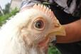 鸡感冒发烧特效药辰康-鸡感冒咳嗽怎么办