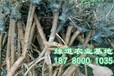 李子树苗栽多深?李子树苗价格多少?