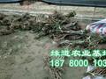 泸州李子苗,泸州李子树苗图片