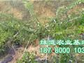 泸州李子苗价格,泸县李子树苗基地图片