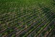 新疆红提种植企业